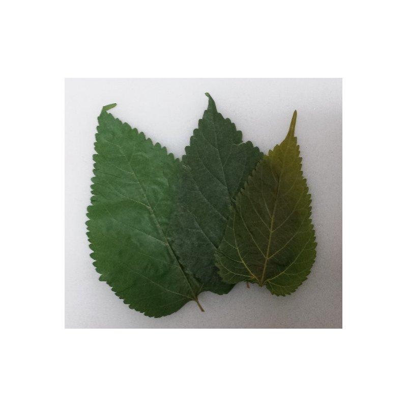 Maulbeerblätter ( Mulberry leaves ) 10er Beutel