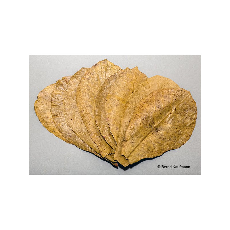 aquamax Maxi - Seemandelbaumblätter ( aquamax Terminalia Catappa Leaves )